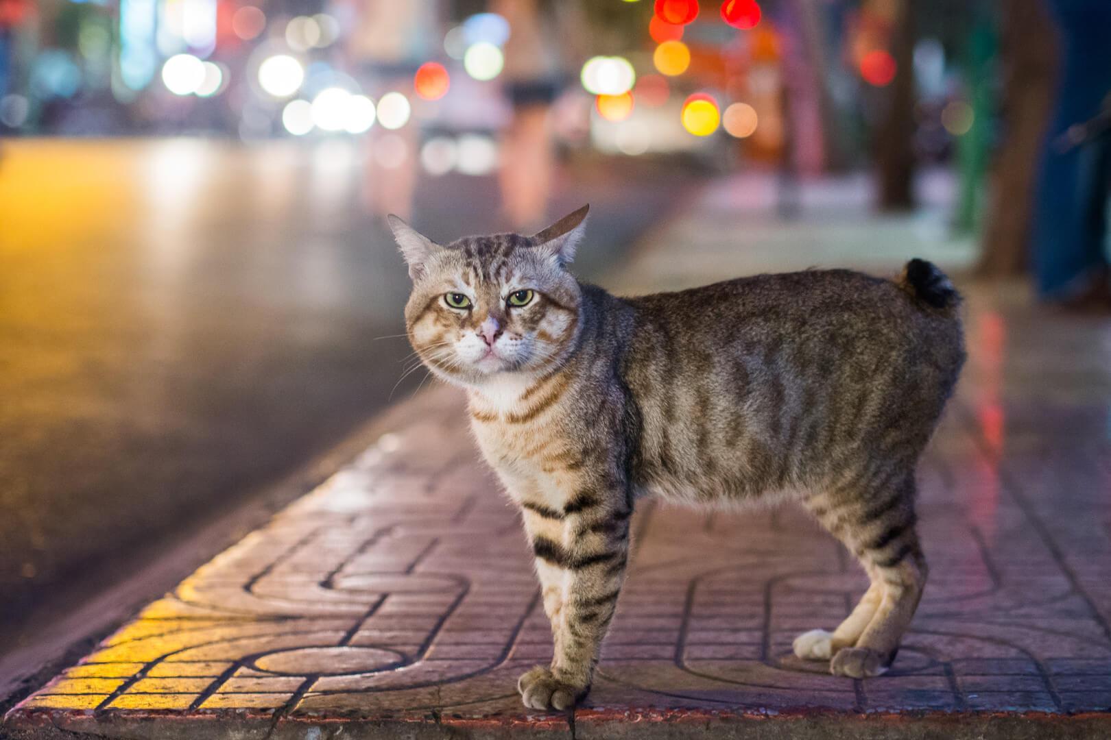 безхвостий кіт (менкс)