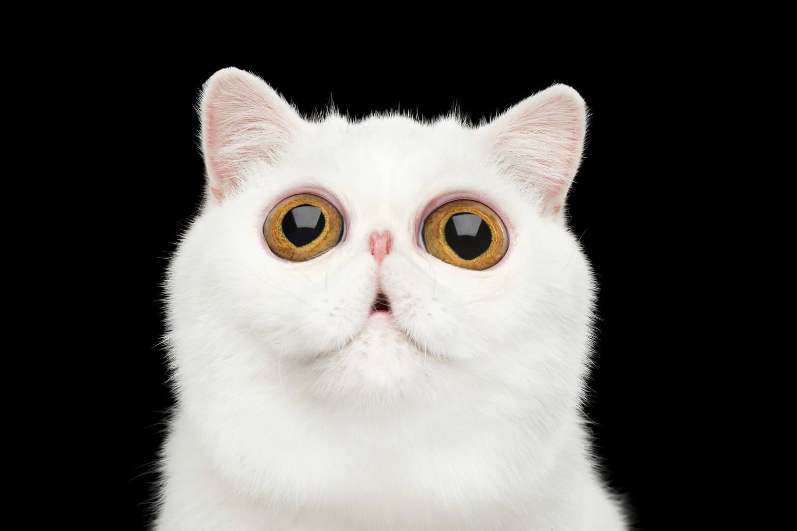 короткошерста кішка