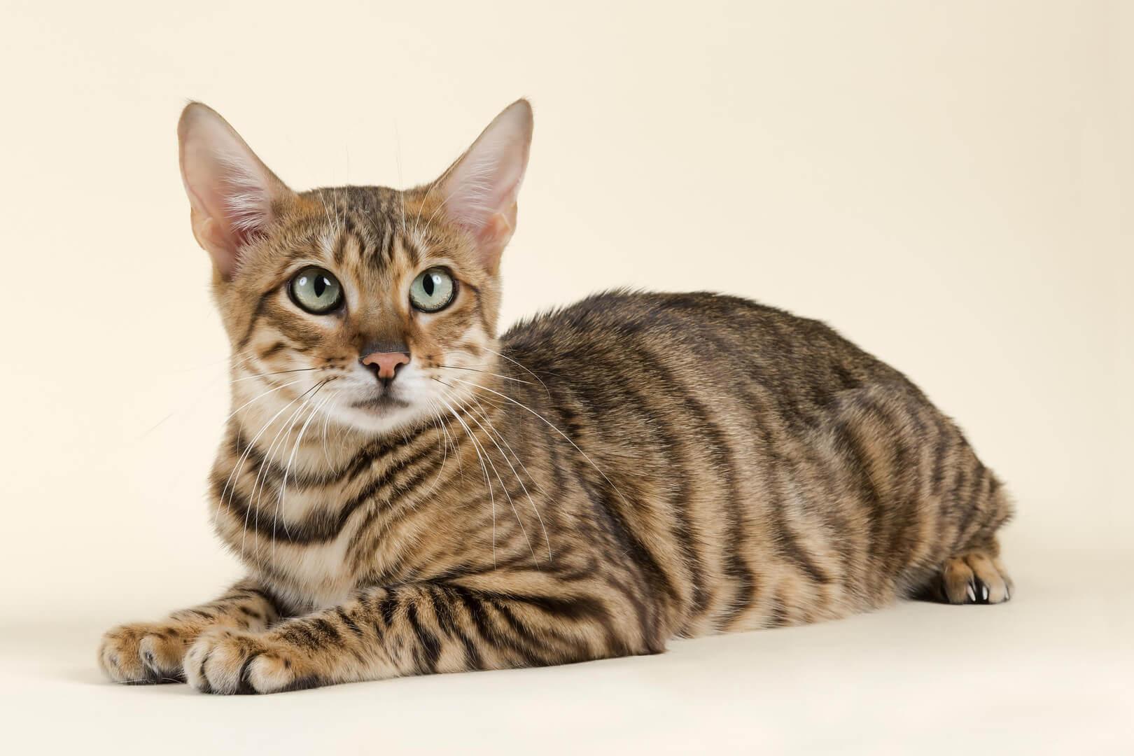 смугастий кіт (таббі)