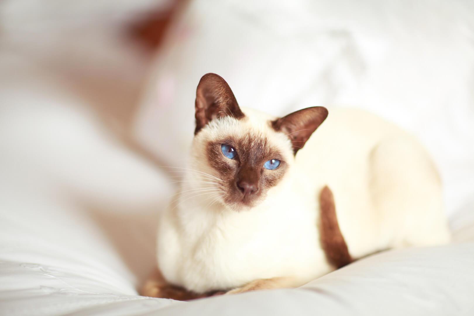 сіамський кіт
