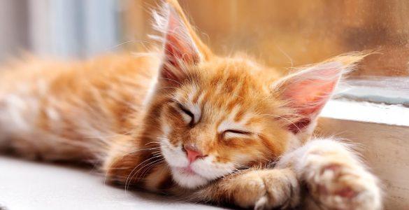 Яка кішка підходить вам за знаком зодіаку