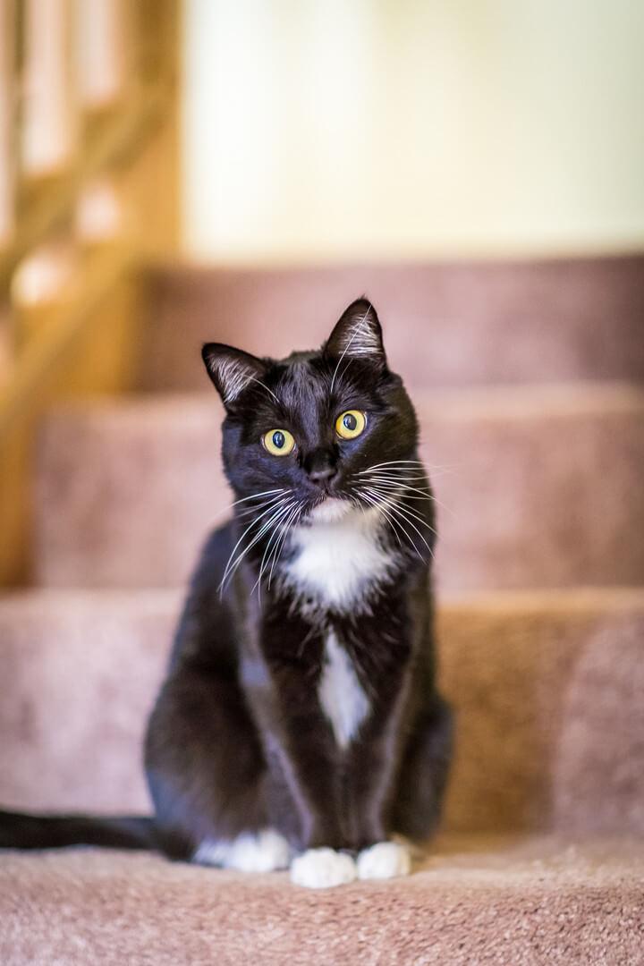 чорно-біла кішка