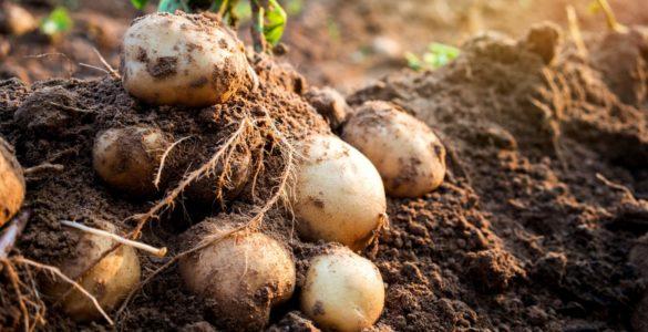 Лікарка розповіла про приховану шкоду картоплі