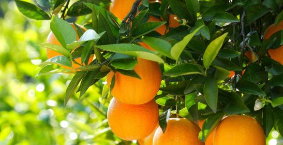 Лікар-дієтолог розповіла про правильний спосіб їсти апельсини