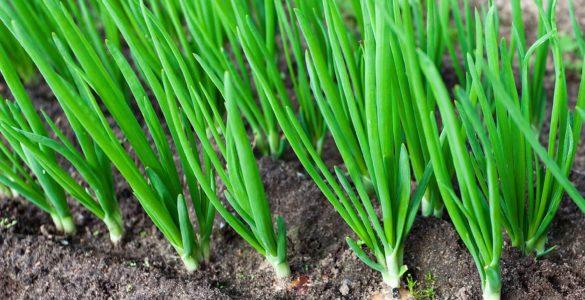 Зелена цибуля: названа користь популярного продукту